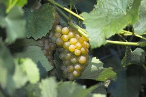 original_virginia-mountain-vineyards-green-grapes-fincastle1.jpg